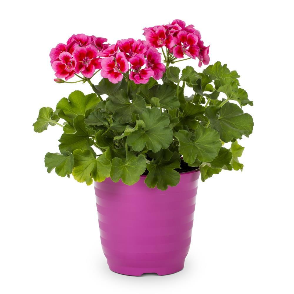 Zonal pelargonium in a pink pot.