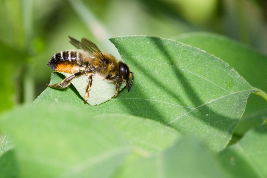 Leafcutter bee cutting a section of leaf.