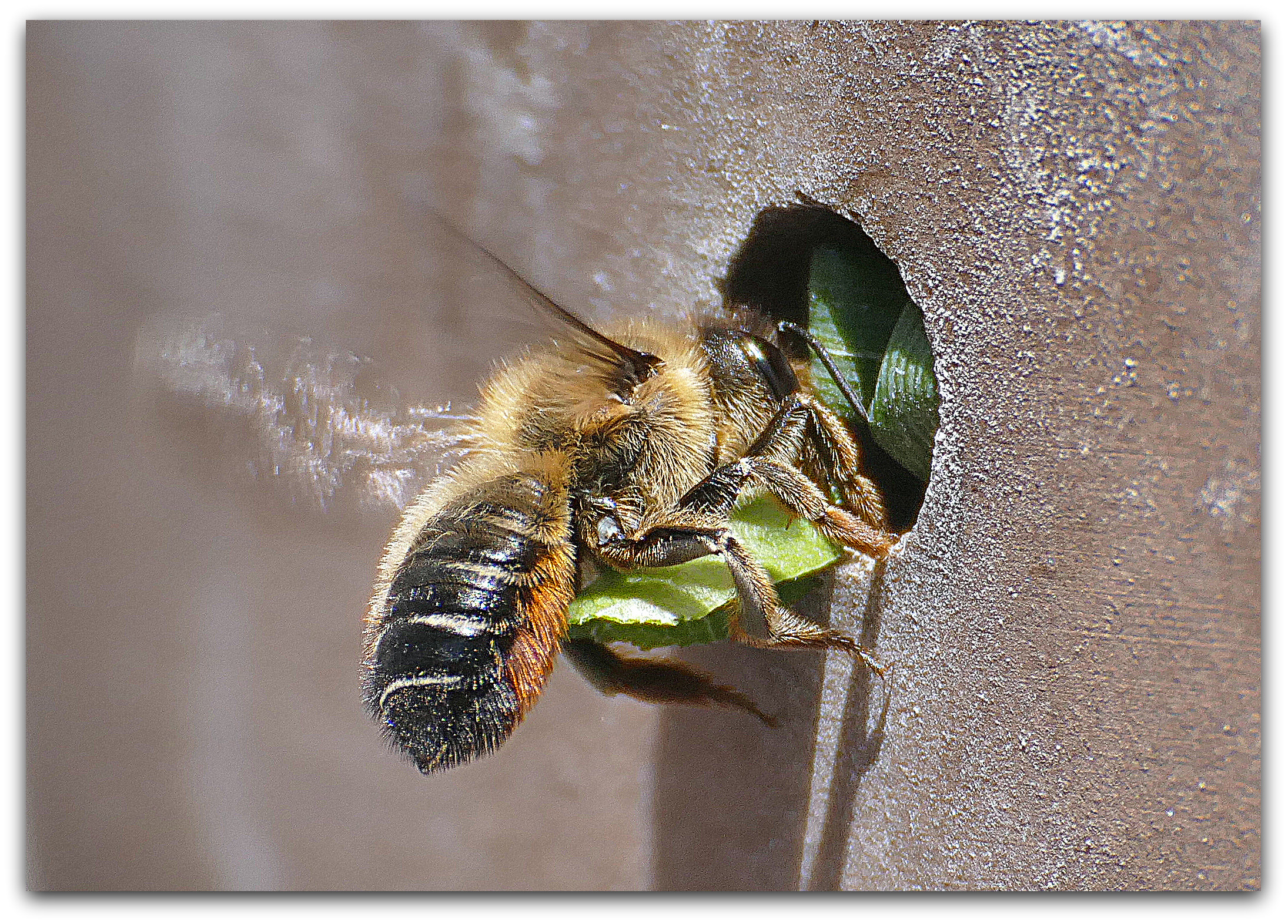 A leafcutter bee lining its nest with pieces of leaf