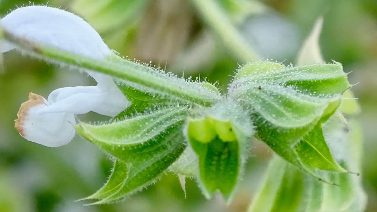 Clary sage showing trichomes.