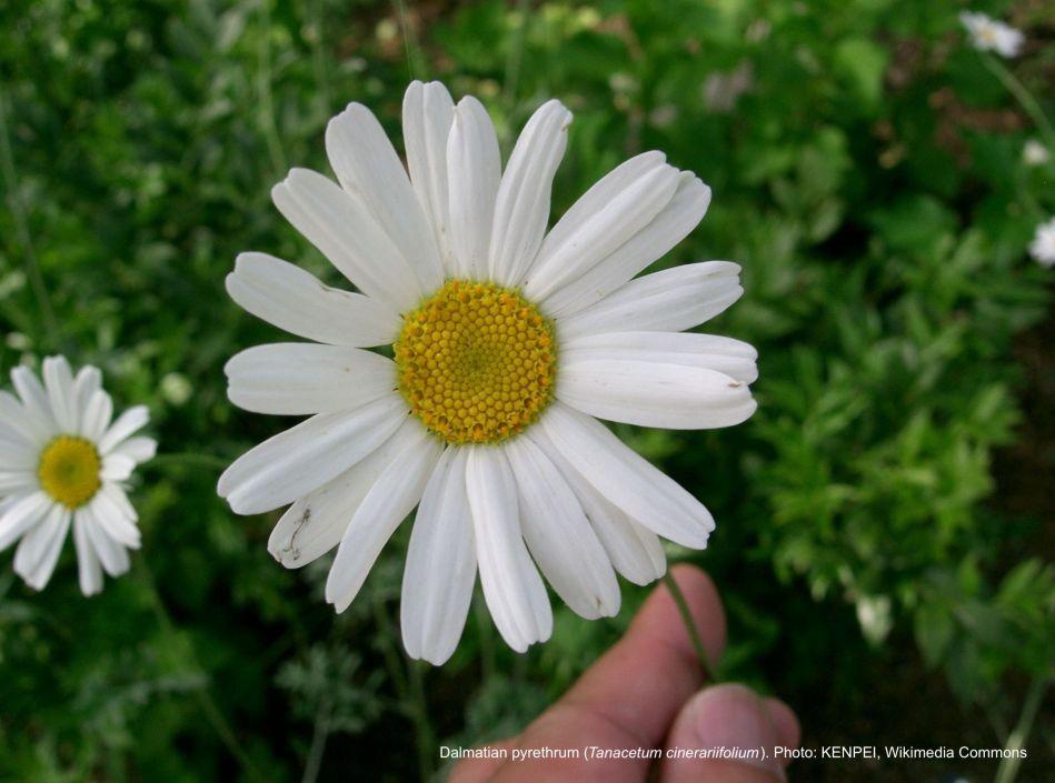Dalmatian pyrethrum flower