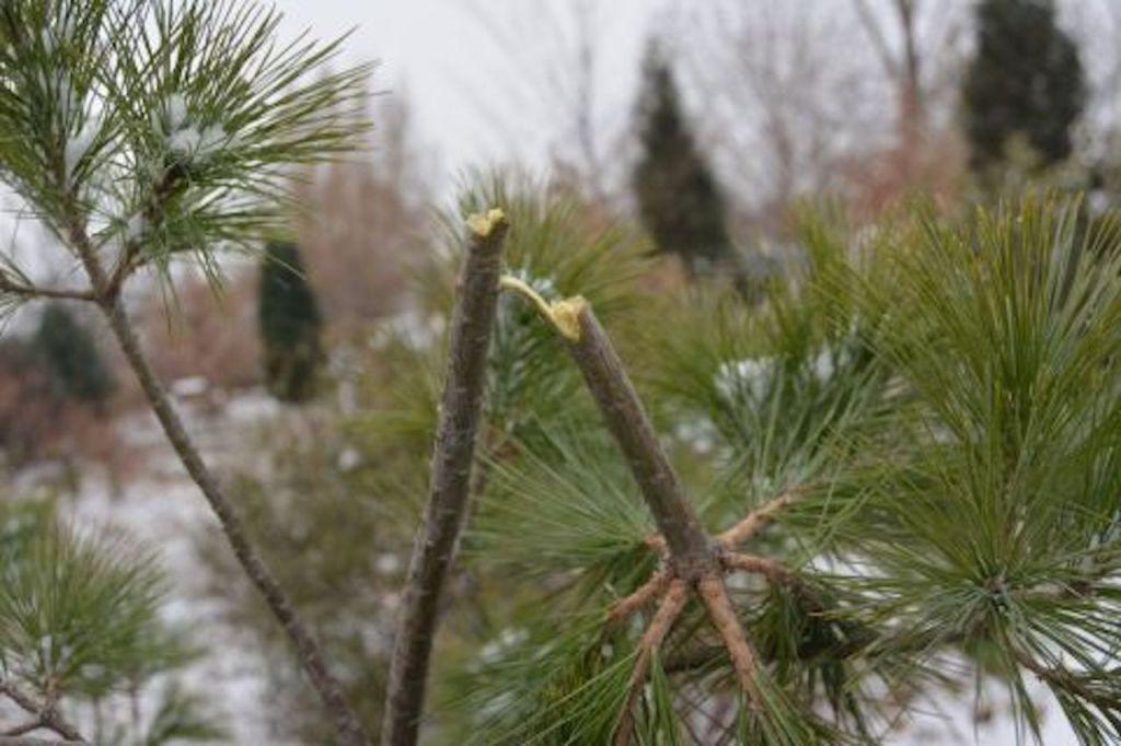 Pine with top broken off.