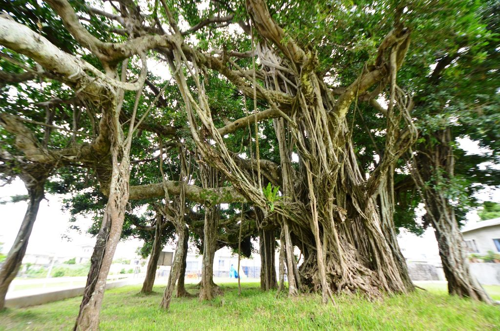 Ficus microcarpa with stilt roots