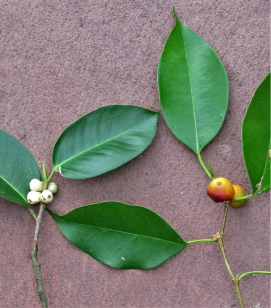 Comparing leaves of Ficus microcarpa to those of Ficus benjamina.