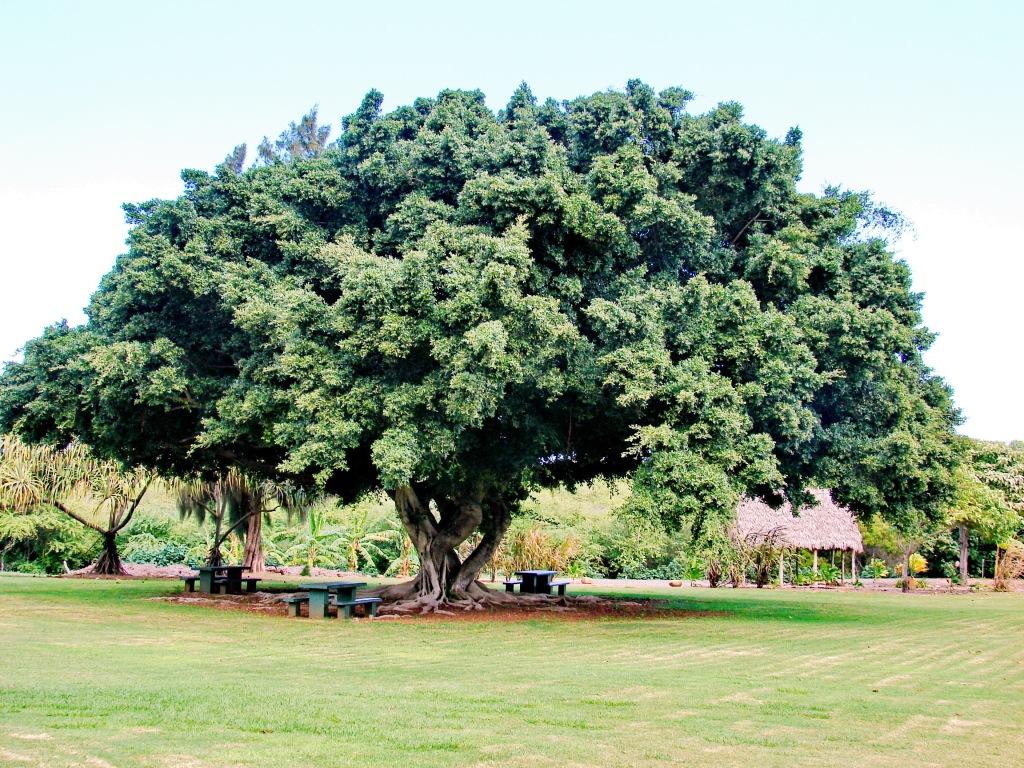 Ficus microcarpa growing outdoors as a shade tree.