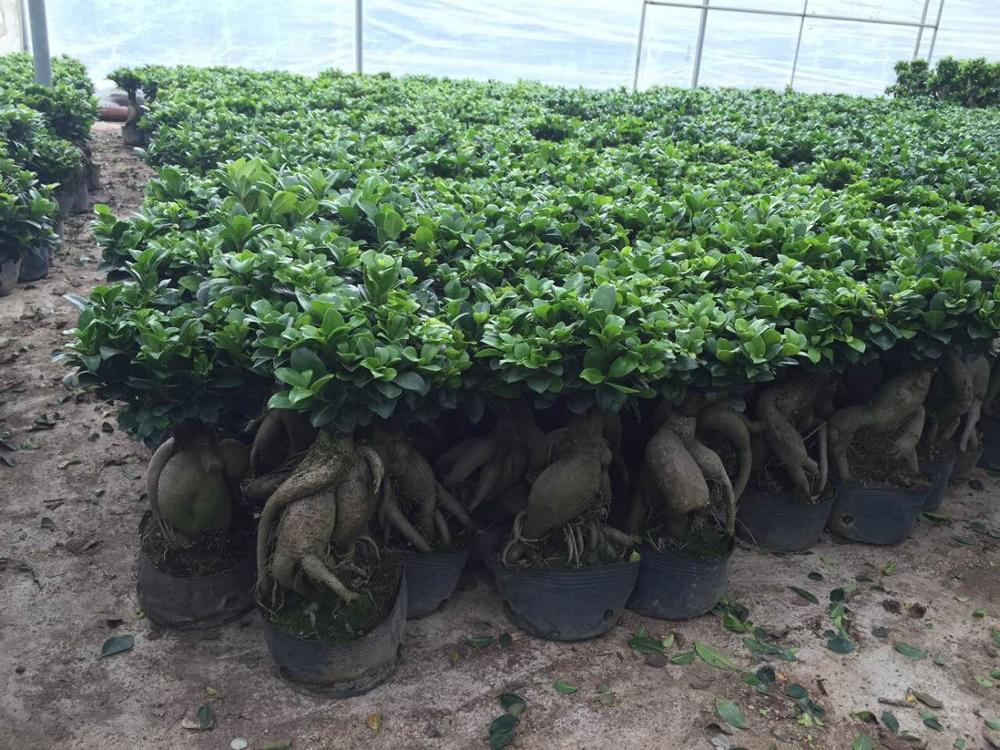 Ginseng ficus in a Chinese nursery.