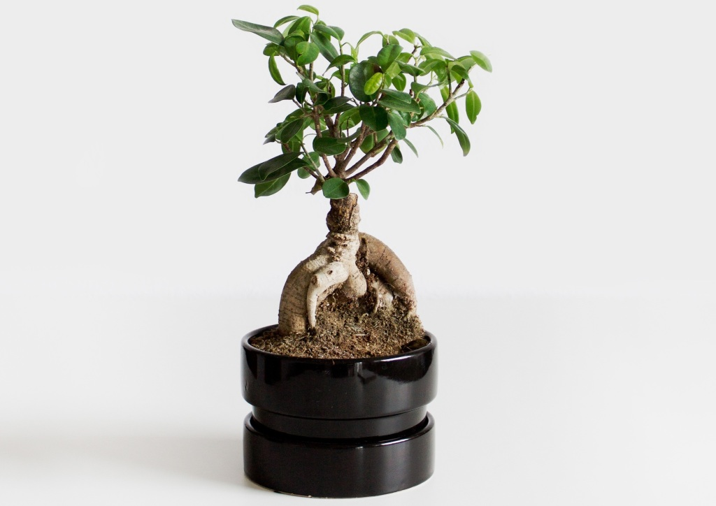 Ginseng ficus in an Ikea pot with no drainage hole.