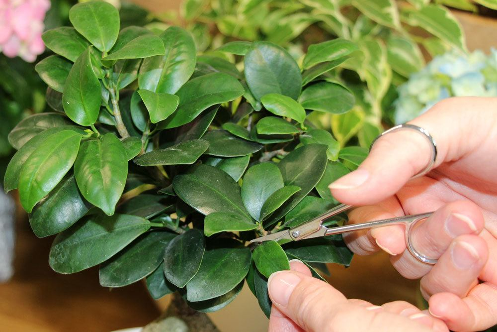 Hand pruning a ginseng ficus with scissors.