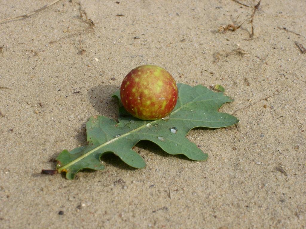 Apple oak gall