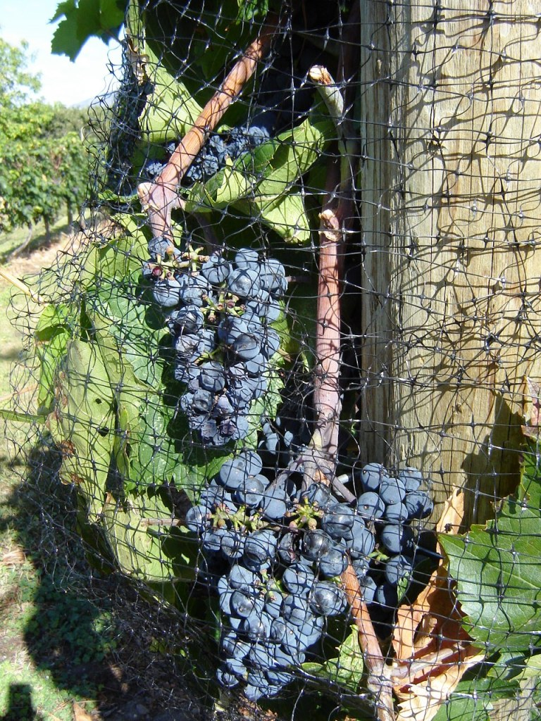 Protective netting around grape vines to protect the crop.