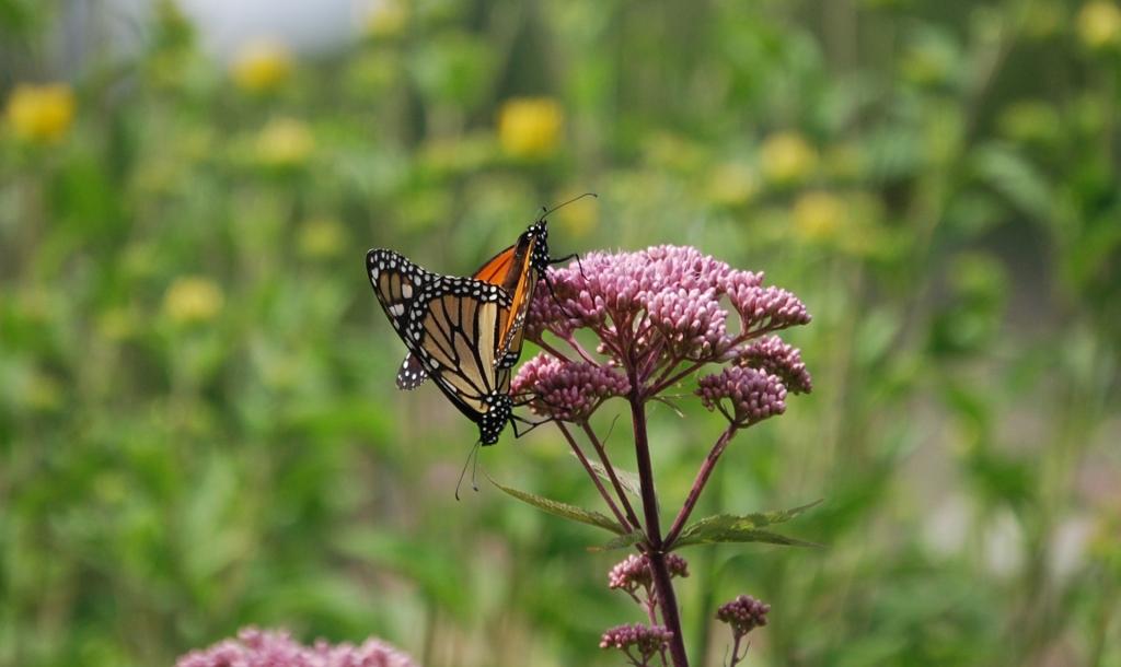 Monarch butterfly on a wild flower.
