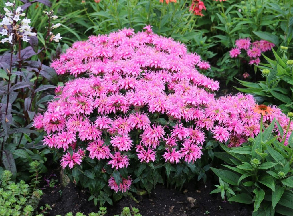 Monarda Balmy Pink