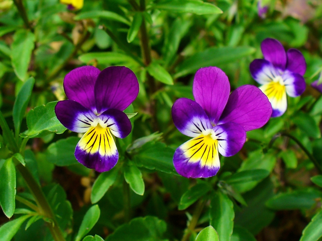 Wild pansy in bloom