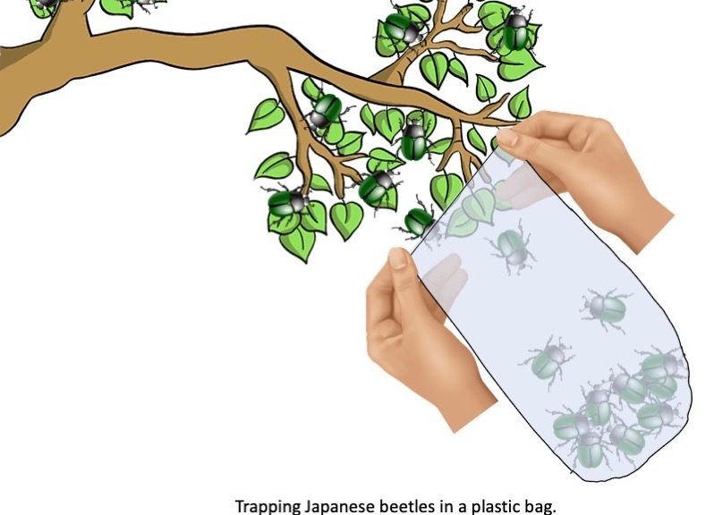 Bread bag used to catch Japanese beetles.