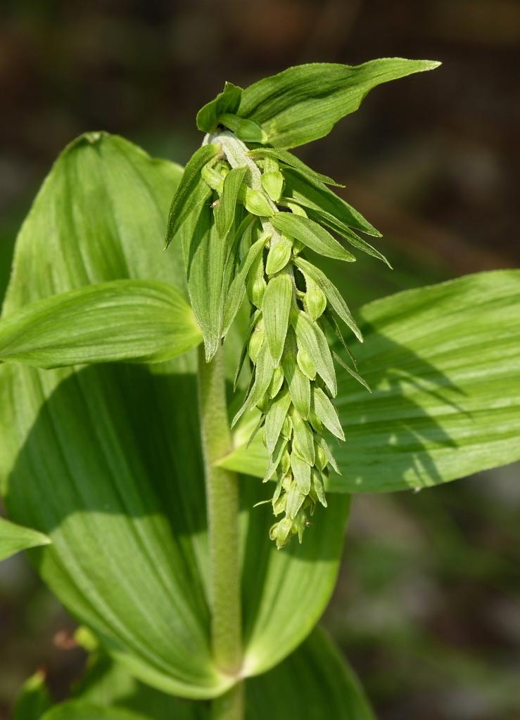 Arched flowering stem of broad-leaved helleborine.